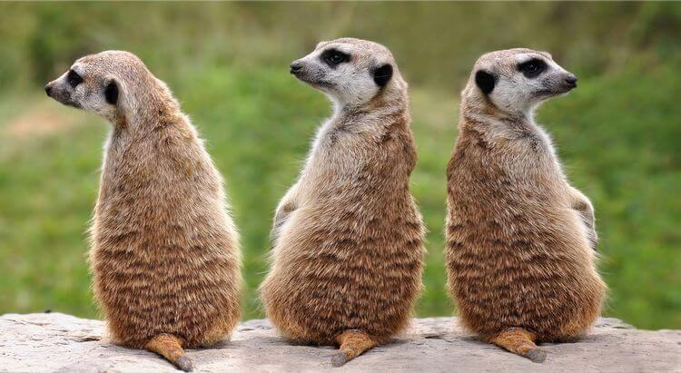 3 meerkats popped up
