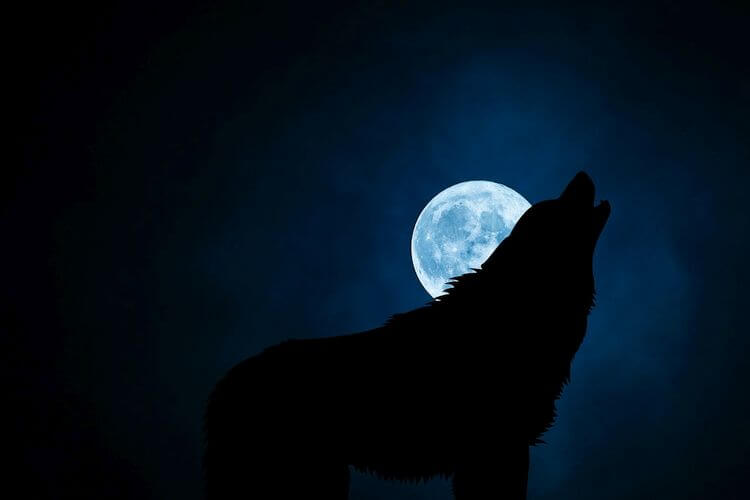 wolf barking at full moon