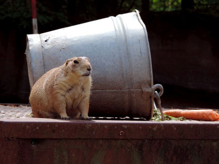 marmot next to overturned bucket