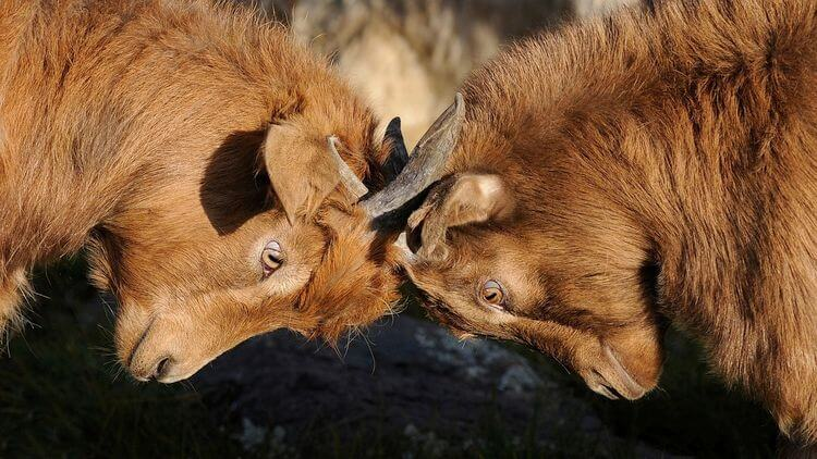 mountain goats butting heads